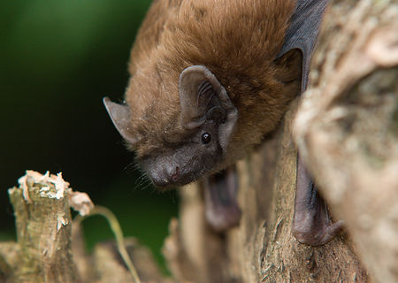 Noctule bat roost in tree