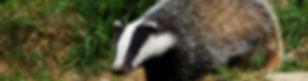 Badger survey kent