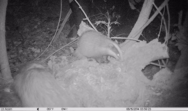 badger camera trap
