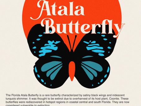 The Atala Butterfly