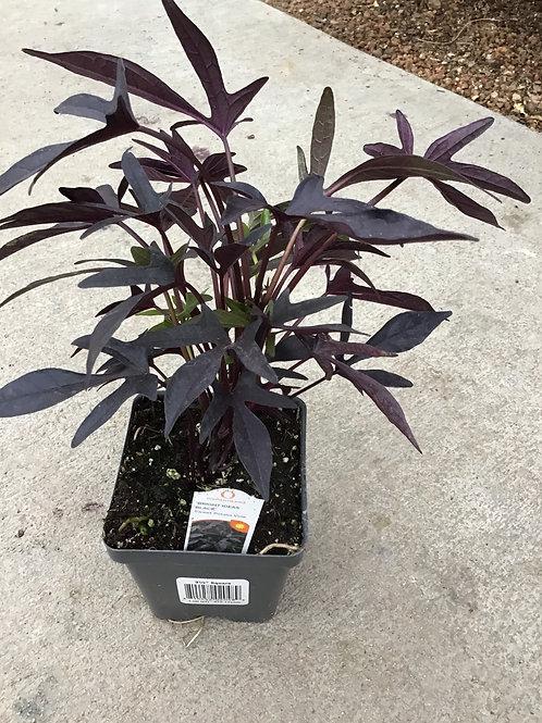Sweet potato vine bright ideas black 3.50