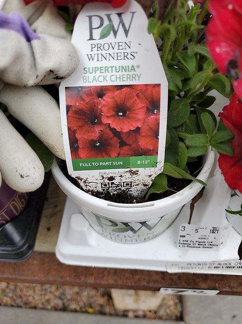 Petunia black cherry 4.25 proven winner