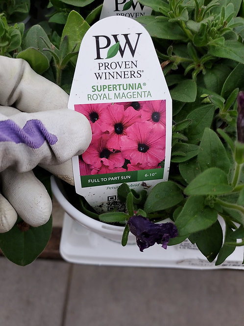Petunia Royal magenta 4.25 proven winner