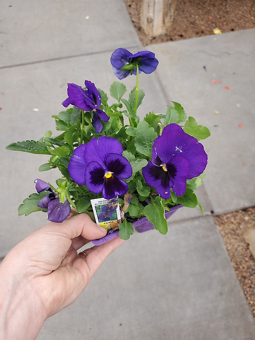 Pansy Matrix Blue Blotch 4 PAC Lrg Cell