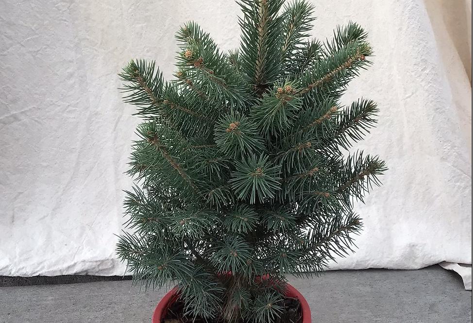 Living Christmas Tree Blue Spruce #1