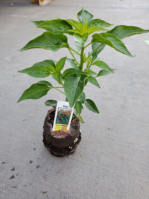 Chilli Thai Hot Pepper in Bio Pot
