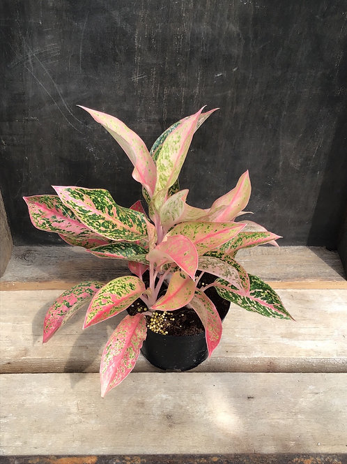 "6"" Agleonema night sparkle Chinese evergreen"