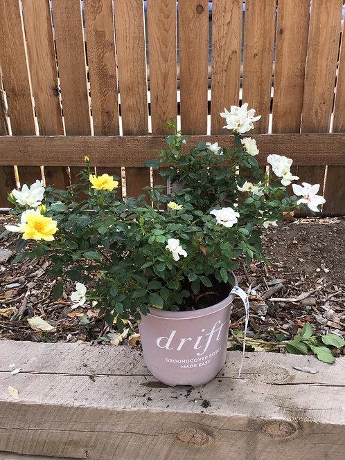 Rose lemon drift #1