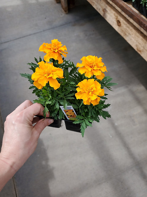 Marigold Orange in 4 pack
