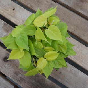 Pothos Lime