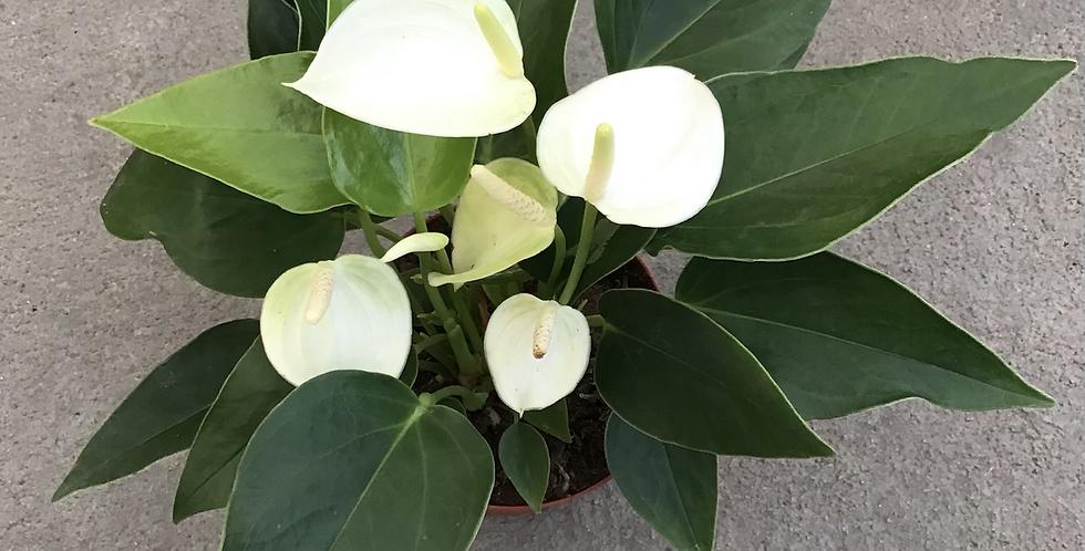 """4.5"""" Anthurium White"""