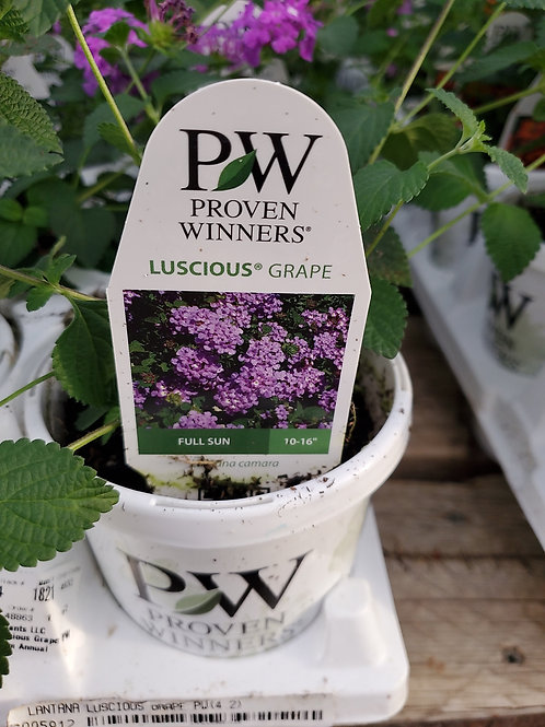 Lantana luscious grape 4.25 premium annual