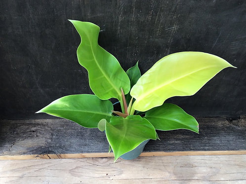 "4"" Philodendron Moonlight"