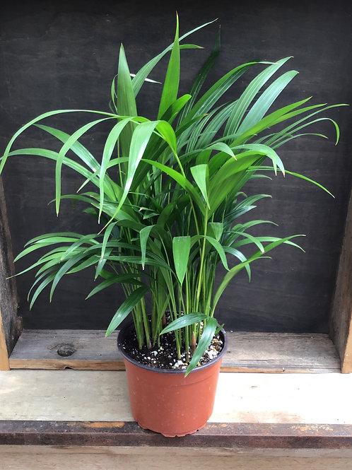 "6"" Areca Palm"