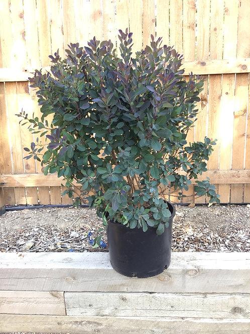 Smokebush royal purple #7
