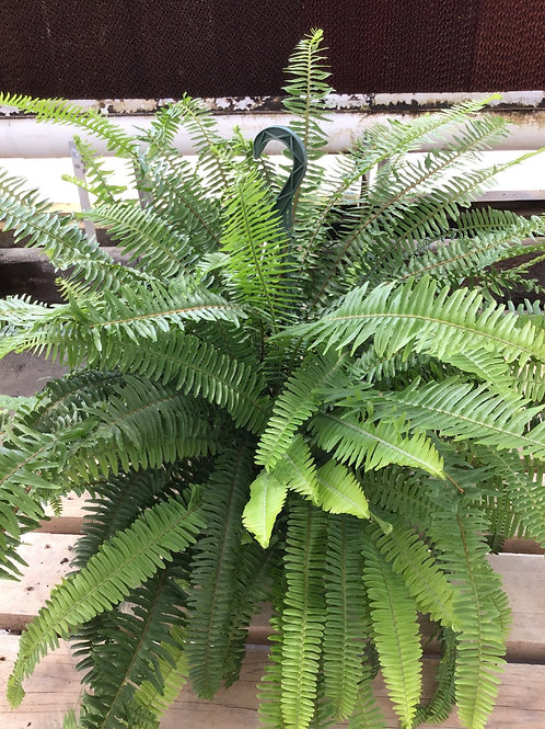 "8"" Kimberly queen fern"