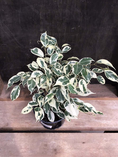"6"" Ficus breeze varigated Benjamina"