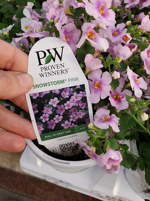 Bacopa snowstorm pink 4.25 premium annual