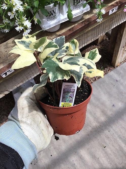Hedera  Algerian ivy variegated 4.25 premium