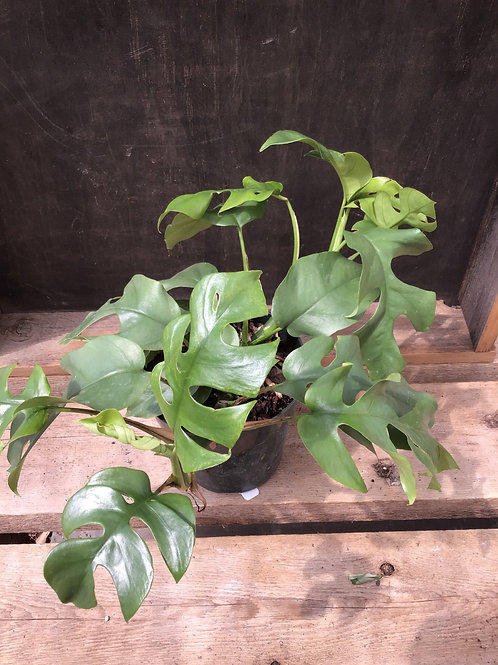 "6"" Philodendron Monstera Minima"
