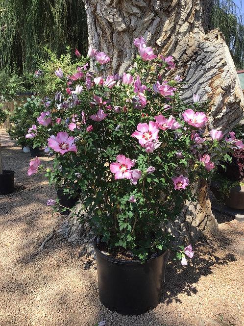 Hibiscus rose satin #7