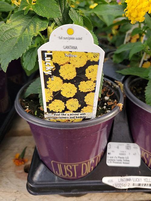 Lantana lucky yellow 4.25 premium annual
