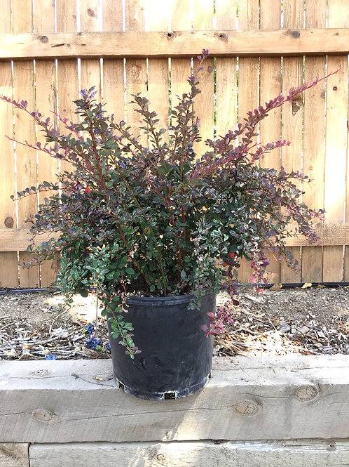 Barberry Rose glow #5