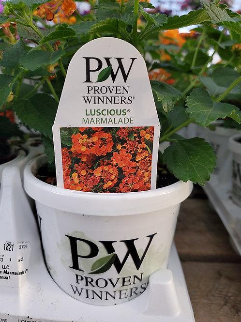 Lantana luscious marmalade 4.25 premium annual