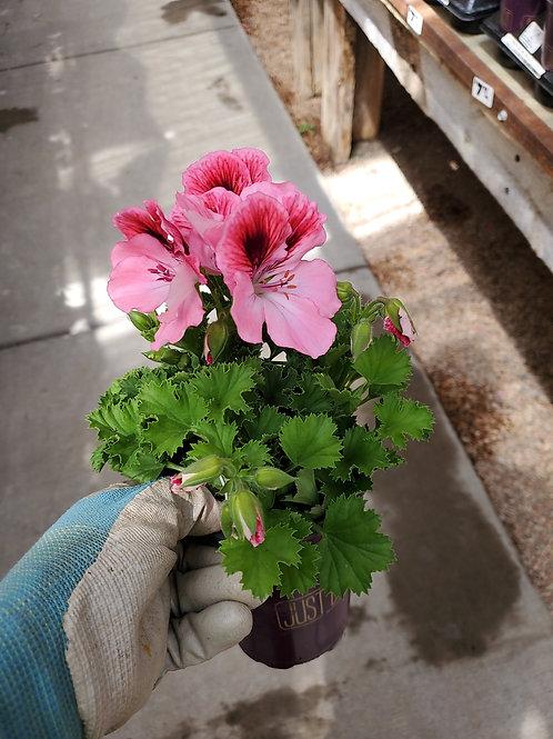 Geranium regal Rose bicolor 4.25 premium