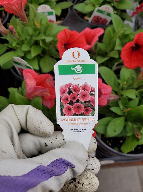 Petunia potunia Coral 4.25 premium
