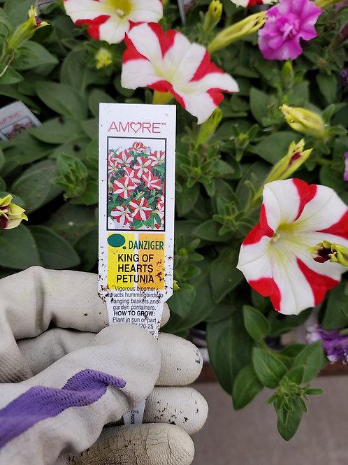 Petunia King of hearts 4.25 premium