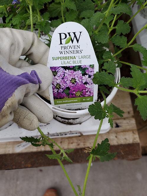 Verbena large lilac blue 4.25 proven winners