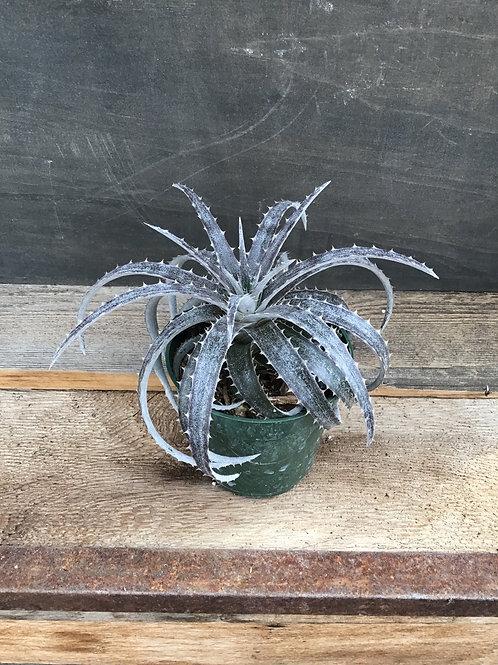 """4"""" Dyckia succulent"""