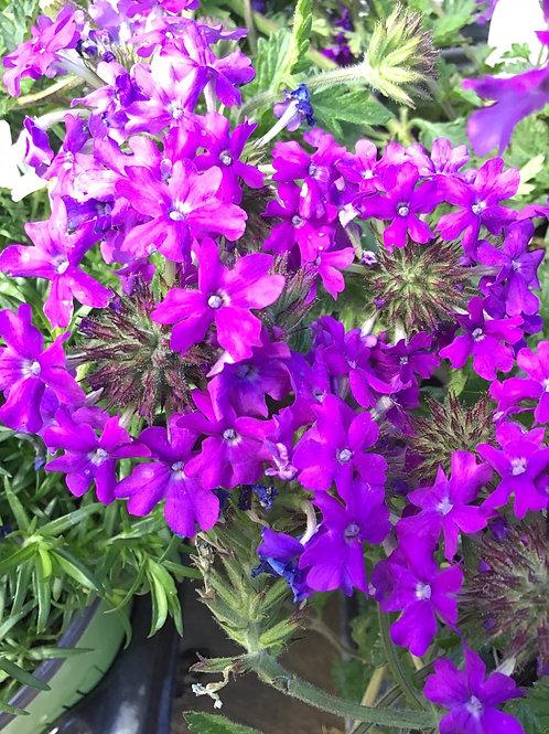 Verbena Homestead purple #1