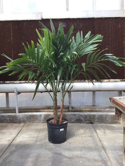 "12"" Palm Adonidia"