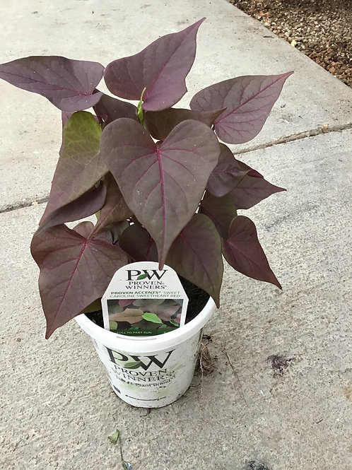 Sweet potato vine sweet Caroline sweetheart red 4.25