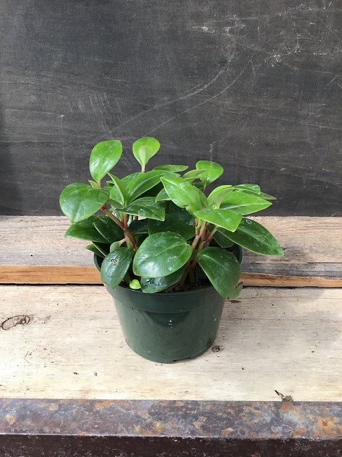 """4"""" Peperomia Red Stem"""