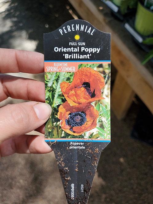 Poppy Oriental Brilliant #1 Gallon