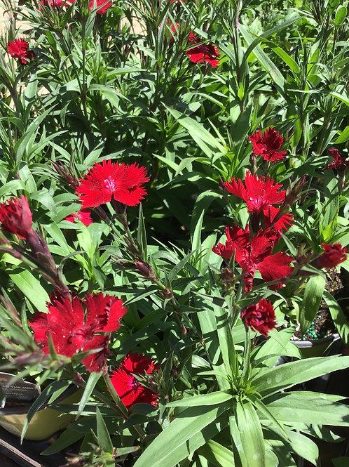 Dianthus rockin red #1