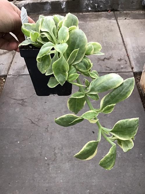 Dorotheanthus Trailing succulent 3.50