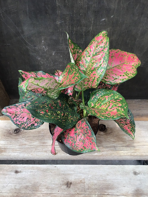 "6"" Agleonema Ruby Jazz Chinese evergreen"