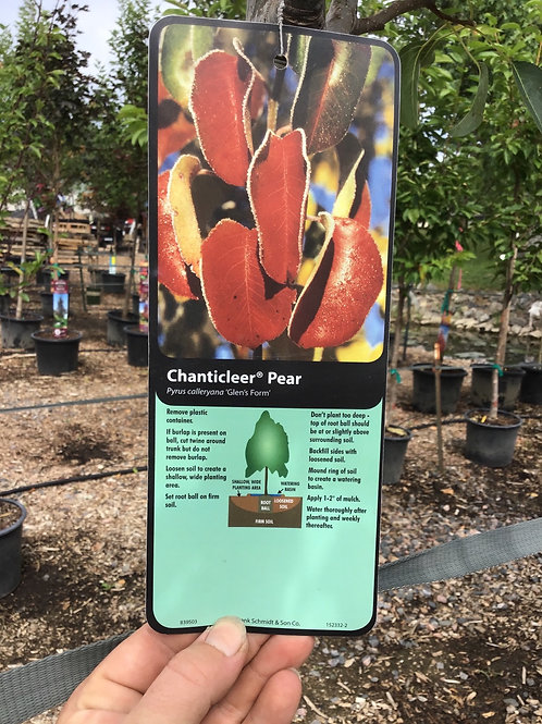 Chanticleer Pear #25