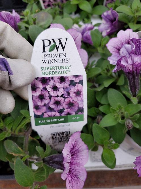 Petunia Bordeaux 4.25 proven winner
