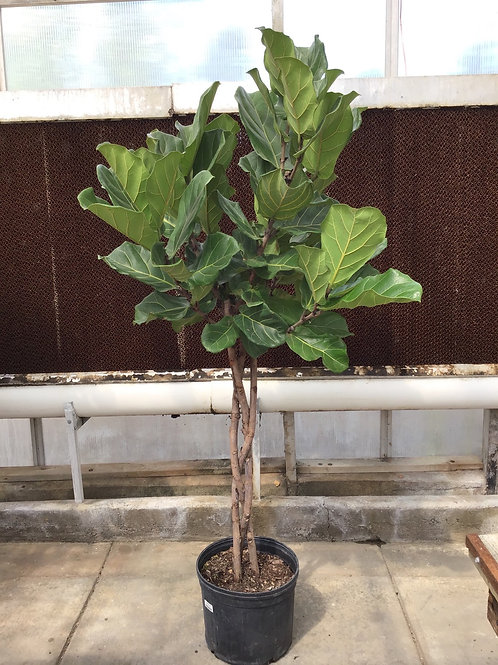 "14"" Ficus lyrata braid"
