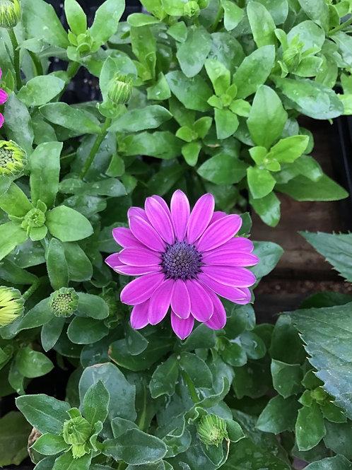 Osteo Serenity Dark purple 3.5