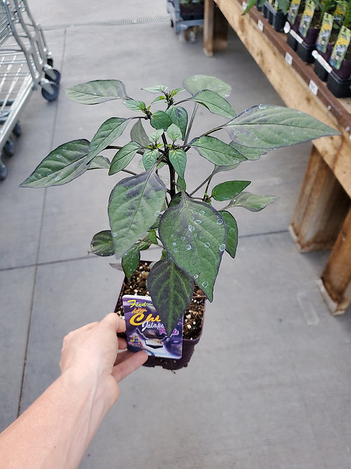 Chilli Jalapeno Purple