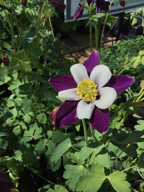 Aquilegia Swan Violet and white remembrance columbine #1