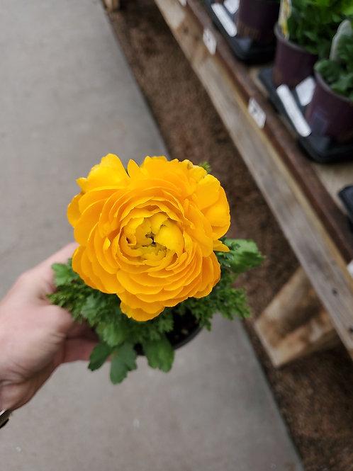 Ranunculus Mache Yellow 4.25