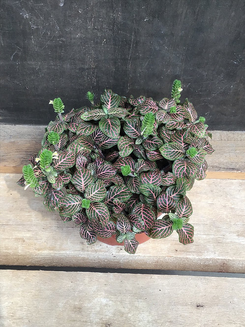 """6"""" Fittonia pink"""