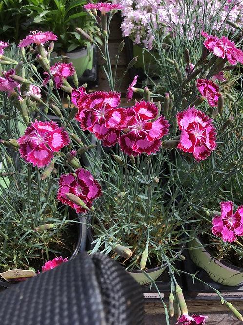 Dianthus desert cranberry ice #1